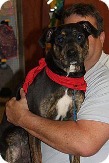 Rottweiler/Plott Hound Mix Dog for adoption in Staunton, Virginia - Shakespeare