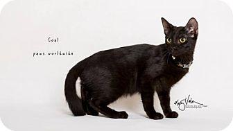 Siamese Cat for adoption in Westlake, California - COAL