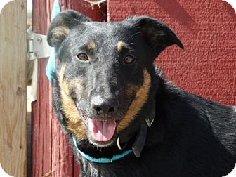 Doberman Pinscher/German Shepherd Dog Mix Dog for adoption in Vacaville, California - Wally