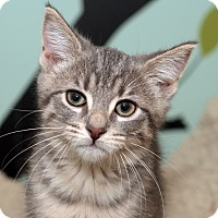 Adopt A Pet :: ROBIN - Royal Oak, MI
