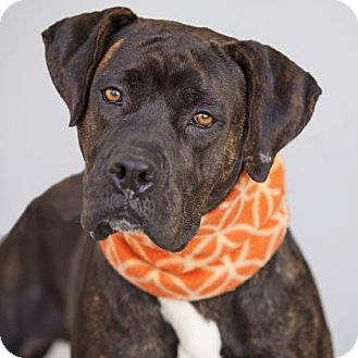 Boxer/Mastiff Mix Dog for adoption in Mission Hills, California - Tilly