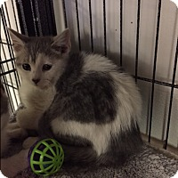 Adopt A Pet :: comet - Forest Hills, NY