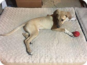 Labrador Retriever Mix Puppy for adoption in Austin, Texas - Puppy Drake