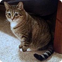 Adopt A Pet :: 'Cleo' Sweet-natured girl - HILLSBORO, OR