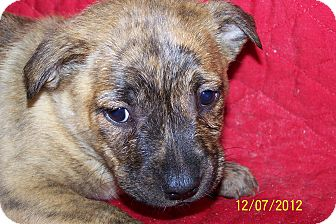 Boxer/German Shepherd Dog Mix Puppy for adoption in Sherman, Connecticut - Betsy Betty's Dog