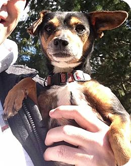 Miniature Pinscher Mix Dog for adoption in Lancaster, Ohio - Pixie