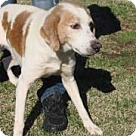 Adopt A Pet :: Andy the Hound