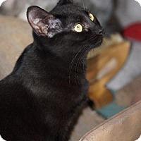 Domestic Shorthair Cat for adoption in Philadelphia, Pennsylvania - Zandra