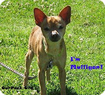 Chihuahua Mix Dog for adoption in San Jose, California - Mulligan