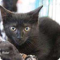 Adopt A Pet :: Rider - Merrifield, VA