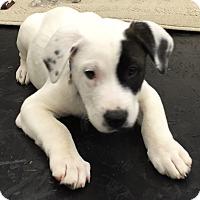Adopt A Pet :: PIRATE - CHICAGO, IL