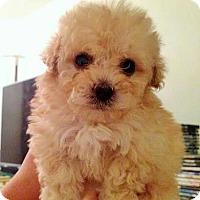 Adopt A Pet :: BEAUTIFUL BABY GIRL BICHON FRISE AND POODLE - Surprise, AZ