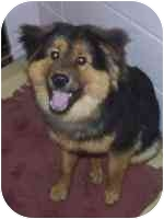 Chow Chow/German Shepherd Dog Mix Dog for adoption in Port Hope, Ontario - Teddy