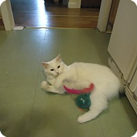 Adopt A Pet :: Snowball - Dale City, VA