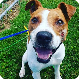 Jack Russell Terrier/Hound (Unknown Type) Mix Dog for adoption in nashville, Tennessee - Louie