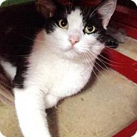 Domestic Shorthair Cat for adoption in Centerville, Georgia - Milo