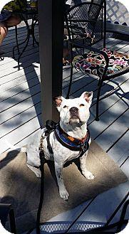 Pit Bull Terrier Mix Dog for adoption in Salt Lake City, Utah - Livvy