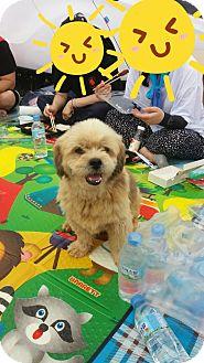 Shih Tzu Mix Dog for adoption in Oakton, Virginia - Chubby