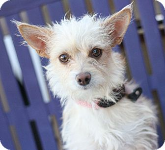 Norwich Terrier Mix Dog for adoption in Canoga Park, California - Candy