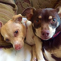 Chihuahua/Dachshund Mix Dog for adoption in Lake Arrowhead, California - Guppy