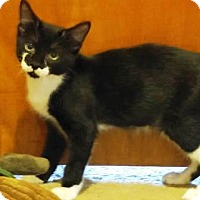 Domestic Shorthair Kitten for adoption in Lee's Summit, Missouri - Bash