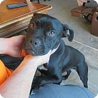 Boxer/American Bulldog Mix Dog for adoption in Lancaster, California - Creed