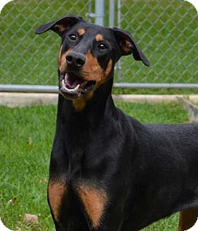 Doberman Pinscher Dog for adoption in Barrington, Illinois - Bonnie