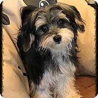 Adopt A Pet :: Shai - Los Alamitos, CA