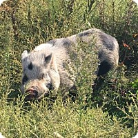 Pig (Potbellied) for adoption in Gettysburg, Pennsylvania - Hank