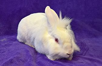 Lionhead Mix for adoption in Lewisville, Texas - Lewis