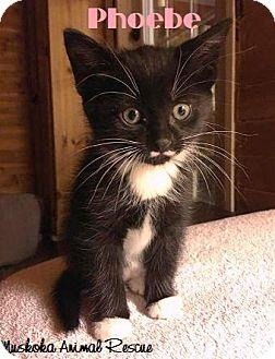 Domestic Shorthair Kitten for adoption in Huntsville, Ontario - Phoebe - Bold Girl!