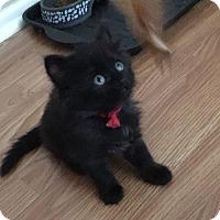 Domestic Longhair Kitten for adoption in Fenton, Missouri - Needy