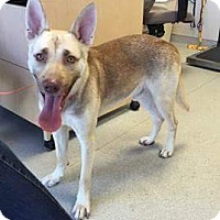 German Shepherd Dog Mix Dog for adoption in South Park, Pennsylvania - Cooper
