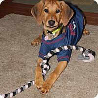 Adopt A Pet :: Puppy Reba - Brattleboro, VT