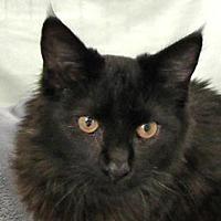 Adopt A Pet :: Sheba (AKA: Nitro) - Redondo Beach, CA