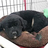 Adopt A Pet :: Celeste - Jackson, MO