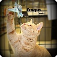 Adopt A Pet :: Angus - Springfield, PA