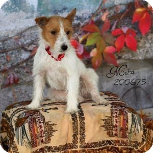 Jack Russell Terrier Dog for adoption in Houston, Texas - Mitzi in Houston