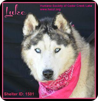 Husky Dog for adoption in Plano, Texas - Luke
