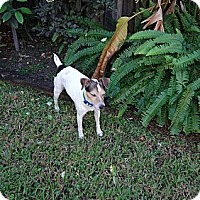 Adopt A Pet :: Scooby - Miami, FL