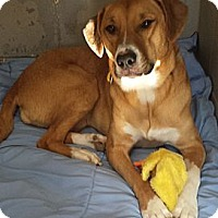 Adopt A Pet :: Goldie - Franklin, NH