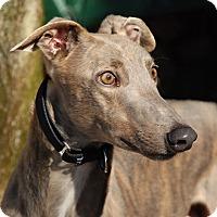 Adopt A Pet :: Reese - Ware, MA