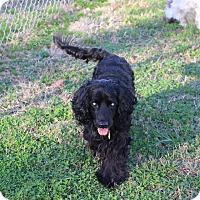 Adopt A Pet :: Barney - Alpharetta, GA