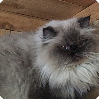 Adopt A Pet :: Sonya (pure-bred Persian) - Witter, AR