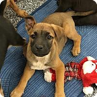 Adopt A Pet :: Tommy - Tucson, AZ