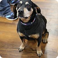 Adopt A Pet :: Bruno - Manassas, VA