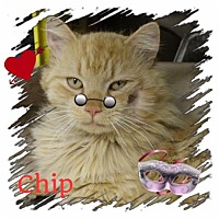 Adopt A Pet :: Chip - Harrisburg, NC