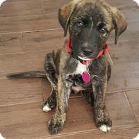 Adopt A Pet :: Boomer - Rigaud, QC