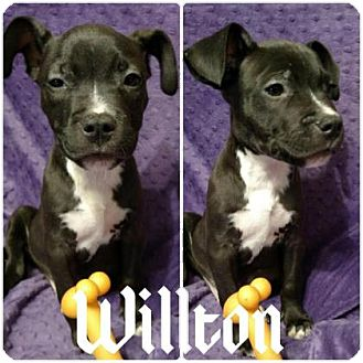 Pit Bull Terrier Mix Puppy for adoption in Austin, Texas - Wilton