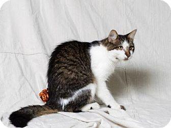 Domestic Shorthair Cat for adoption in Tulsa, Oklahoma - Otis